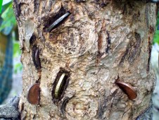 Coins embedded in the bark of the rag tree.