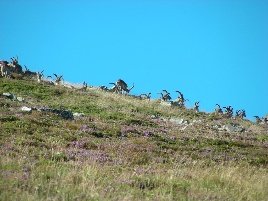 Cabras en los Ancares