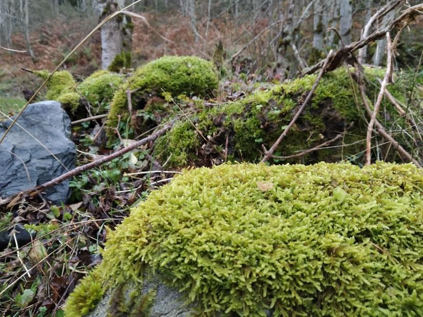 Musgo en el Bosque