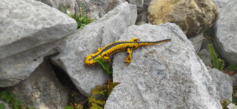 Salamandra de los Picos de Europa