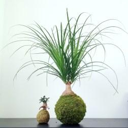 Kokedama ikebanart 2