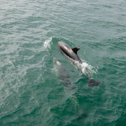 Two dolphins, one submerged and one breeching, swimming in turquoise water