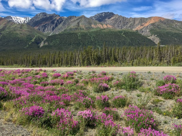 Low forested mountains behind a field of bright purple fireweed