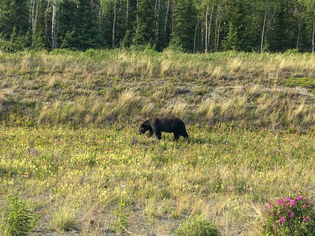 Black bear grazing through grass