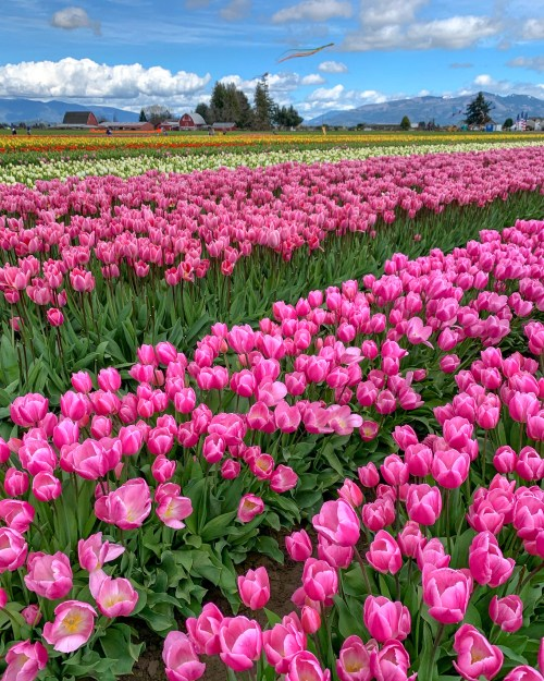 Rows of pink tulips, with kites flying against a blue sky in the background