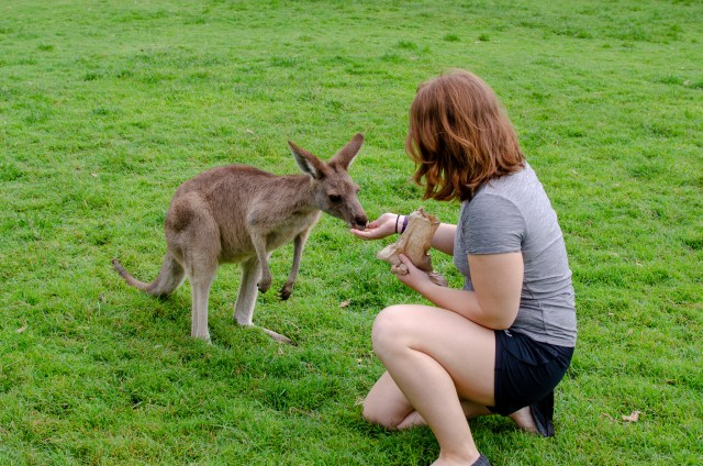 Woman with red hair kneeling on the grass, feeding a kangaroo who has front paws off the ground