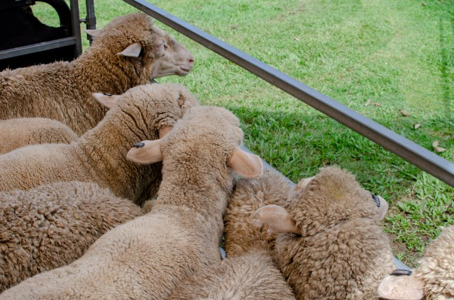 Sheep looking out of pen, herded together