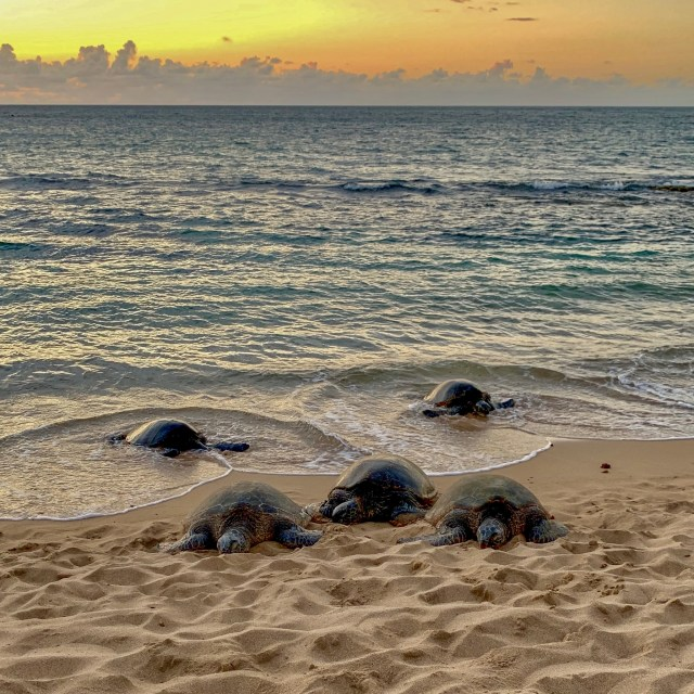 Three turtles on beach, two coming in from the ocean, with a sunset over the ocean in the background
