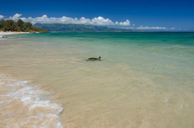 Turtle swimming in clear water, at edge of beach