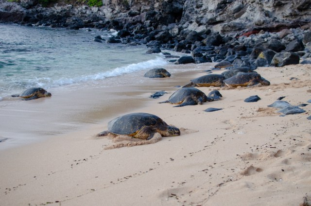 Turtles come in at Ho'okipa Beach in Maui