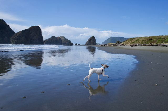 White and gray dog prancing across a reflective beach, with large sea stacks in the background