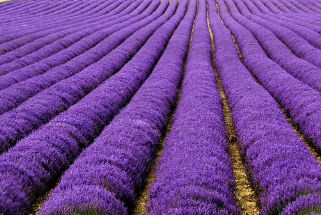 Clonal Lavender
