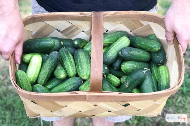 basket of pickling cucumbers
