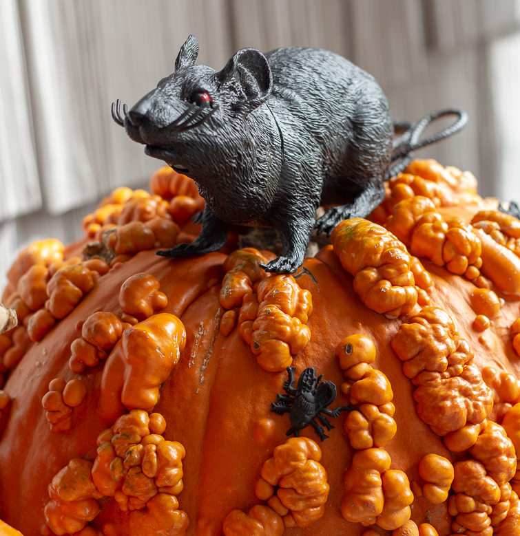 warty pumpkin with a black plastic rat sitting on top of it