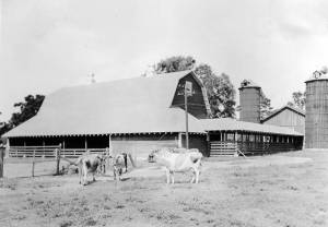 Cattle_on_Dairy_Farm_near_Farm_Buildings