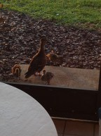 We had baby ducks just off the screened patio!