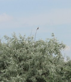 A male red-backed shrike sitting on top of the shrub.