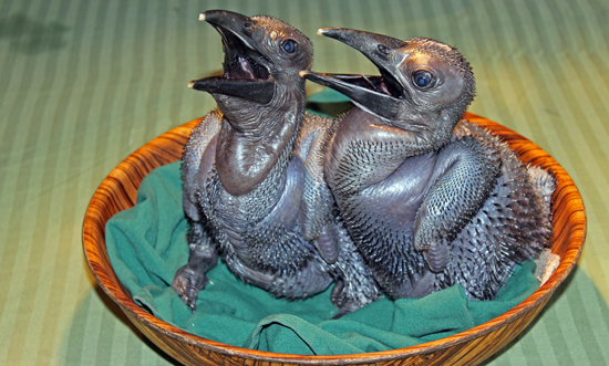 baby hornbill, hornbill, hornbills, Southern Ground Hornbill, bird, birds, chick, chicks, hatch, cute, baby, animals,