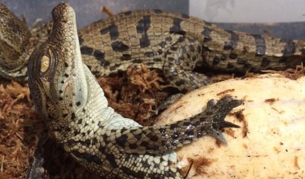 gatorland nile crocodile hatchling