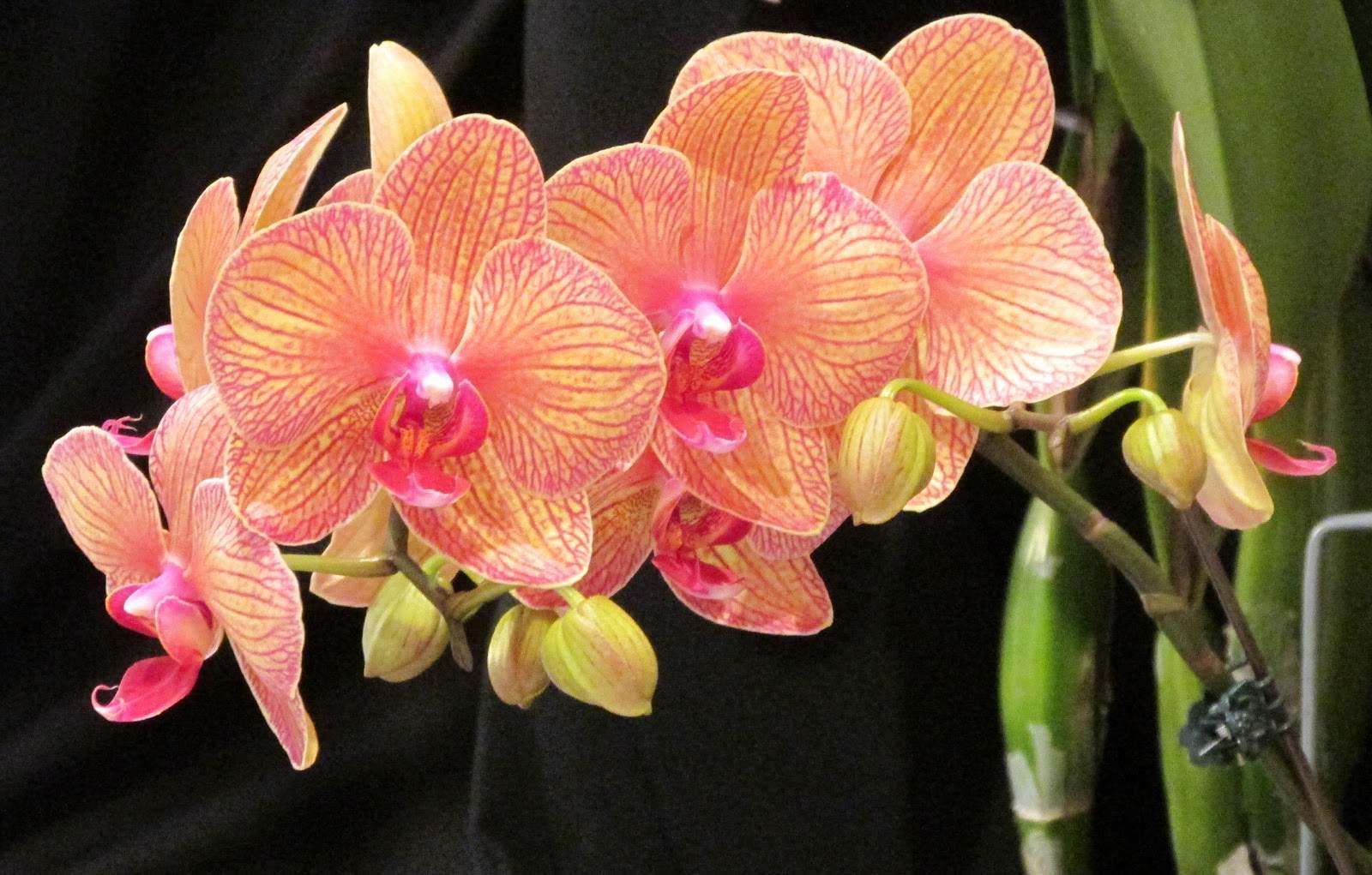 Как убрать воздушные корни у орхидеи