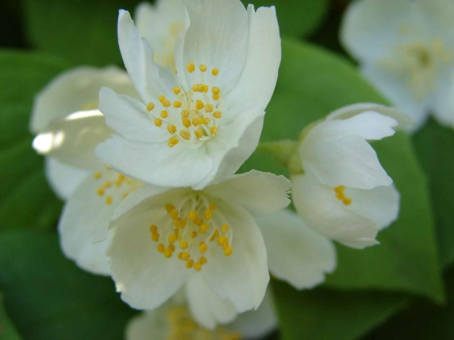 Цветки жасмина купить москва, цветов оптовая база