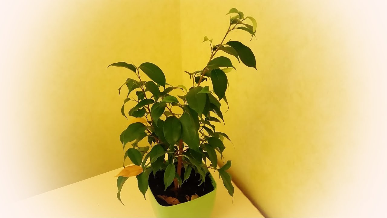 Ficus Benjamin Perde Foglie il ficus benjamina ha gettato le foglie su cosa fare. ficus