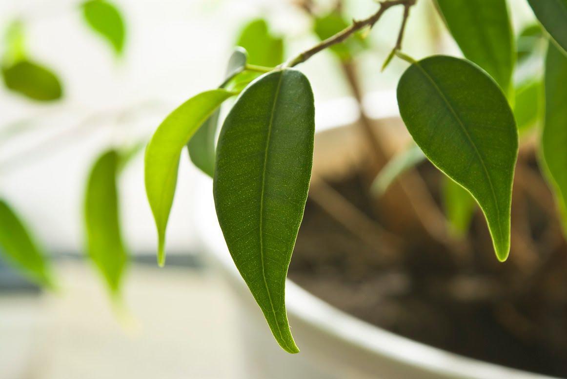 Ficus Benjamin Perde Foglie cosa fare al proprietario se il ficus di benjamin fa cadere
