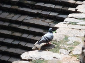 pigeon walking over the Agrasen's Baoli as if its on a inspection