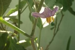 Brinjal Flower