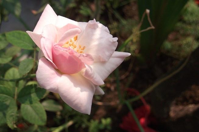 White rose from terrace garden