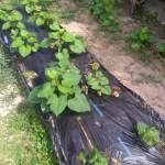 サツマイモのツルと苗の違い べにはるかを育てる とサワガニ