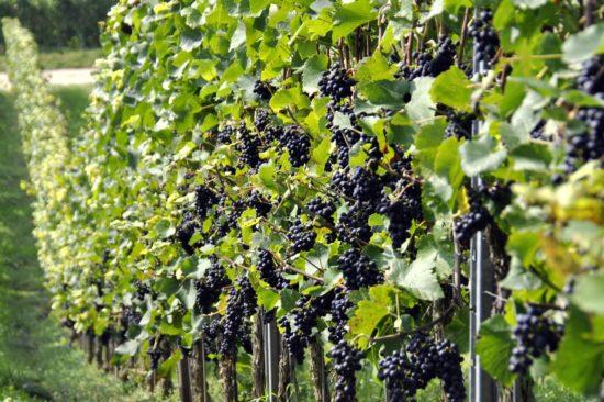 grapes-957324_1920