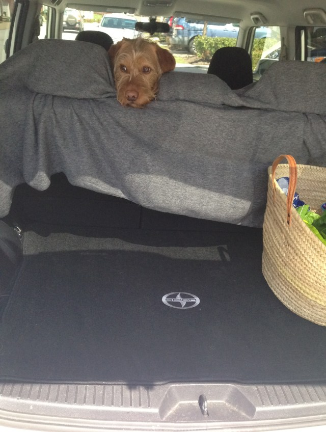 Chippy is even bewildered. Bonaparte bought a bigger blankey for the back seat so Chippy will keep it cleaner.