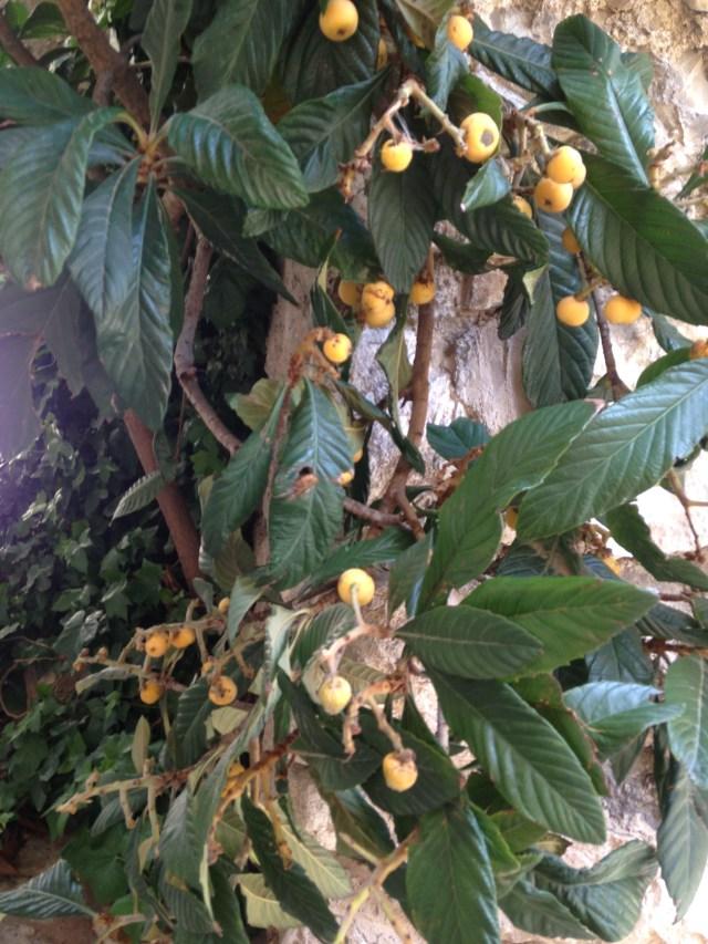 Cabris. Little orange trees