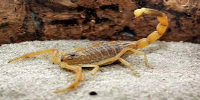 Les scorpions sèment la terreur dans cette province du Maroc