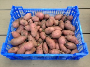 Cultiver des pommes de terre et les conserver