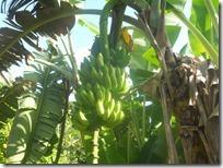 regime-banane