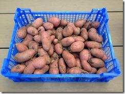 variété de pomme de terre