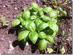 Plantes aromatiques basilic