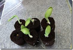 prêt à germer botanic