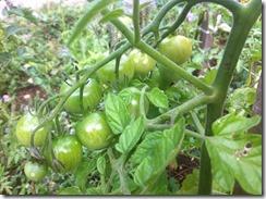 variétés de tomates précoces