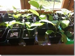 jeunes semis et rayons du soleil