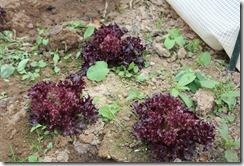 salade au jardin bio
