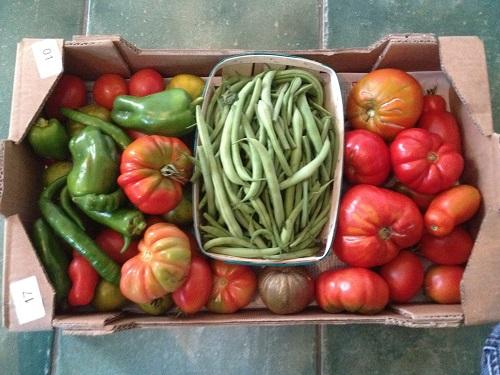 Récoltes de tomates sans maladies
