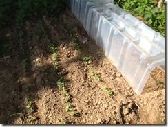 Semis de navets, radis et salades