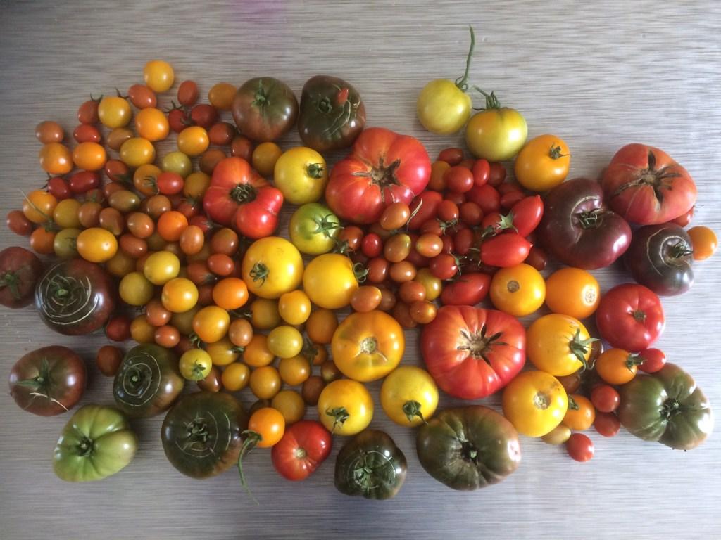 Récolter des tomates