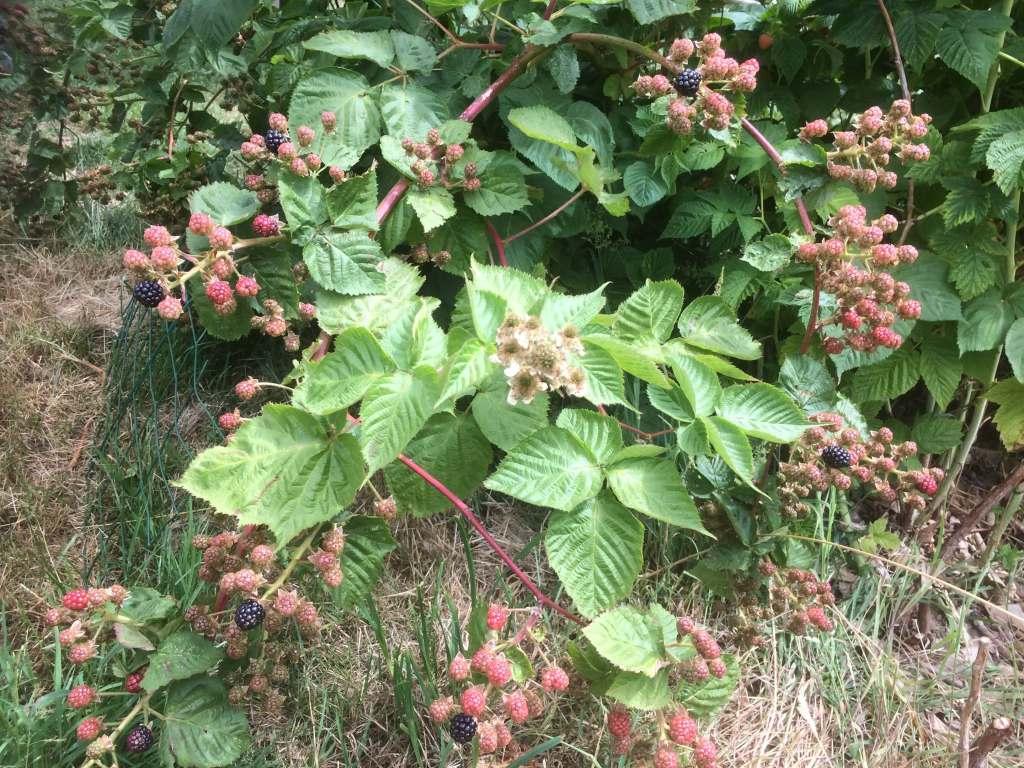 Fruits à baies à planter cette année