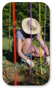 Conseils pour cultiver des tomates au potager par Michel Vernet du site Tenrev