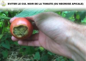 cul noir de la tomate ou nécrose apicale
