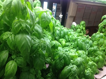 Basil grown in an aquaponic system